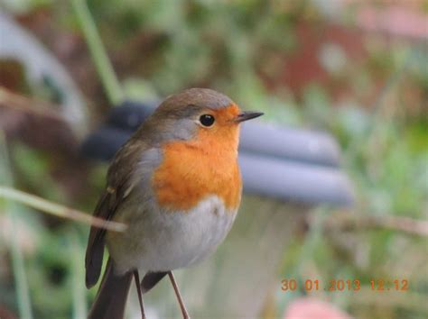 1000+ images about Birds on Pinterest | English, Passerine ...