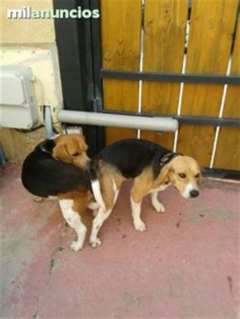 1000+ images about perros on Pinterest | Beagles, Free ...
