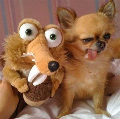 14 Reasons Why Chihuahuas Are The Worst Indoor Dog Breed ...