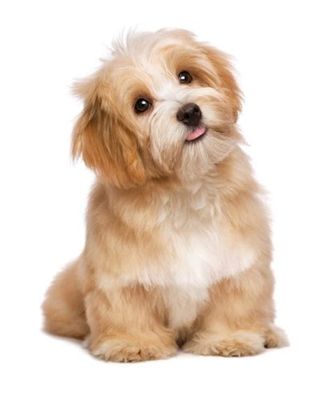 17 Small Dog Breeds That Are Good With Kids – Top Dog Tips