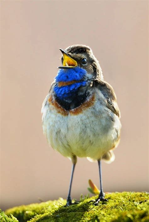 211 best images about EXOTIC BIRDS   SMALL on Pinterest