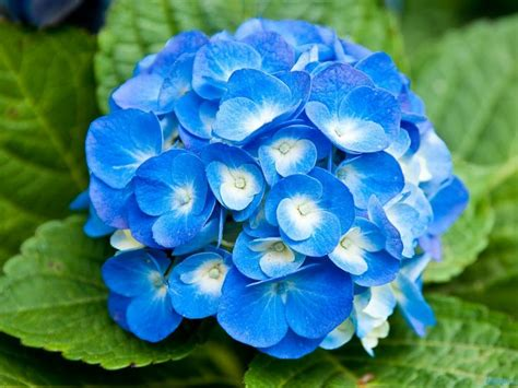 22 Beautiful Blue Flowers Pictures | Flower Meanings ...