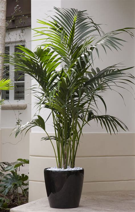 A premium plant! Kentia Palm is an elegant plant that ...