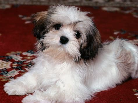 All Small Dogs images Havanese HD wallpaper and background ...