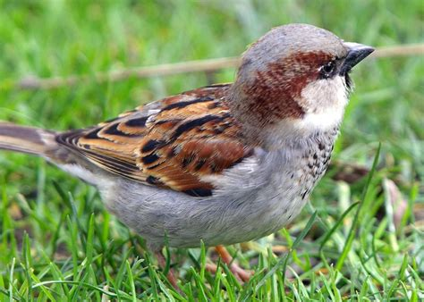 All types of birds images SPARROW HD wallpaper and ...