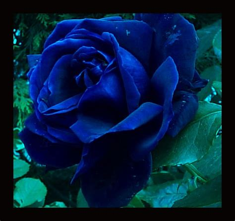 Anna Blue images Blue Rose HD wallpaper and background ...