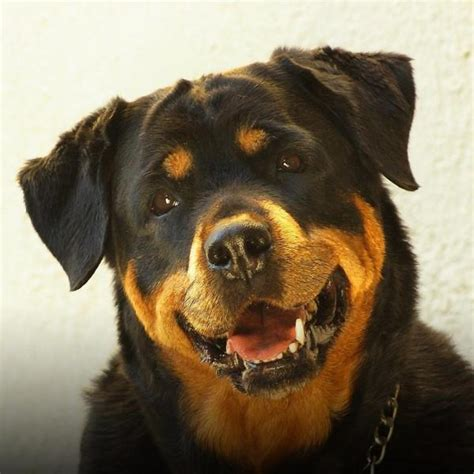Are Rottweilers Dangerous Dogs?