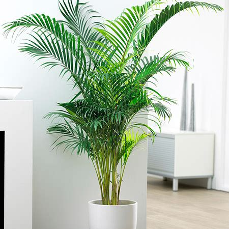 Areca Palm Tree for Sale | Fast Growing Trees.com
