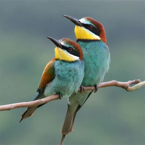 Bee Eaters There are about 25 species of bee eaters found ...