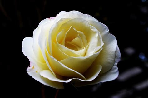 Big White Roses Free Stock Photo   Public Domain Pictures