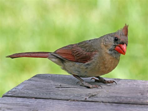 Birds of The World: CARDINALS