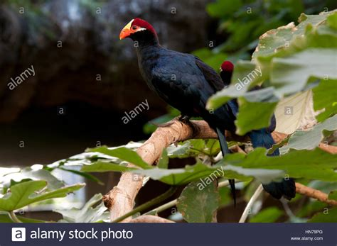 black bird with orange beak and red and yellow head Stock ...