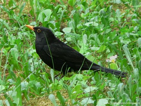 "Blackbirds In Portugal Are Once Again ""Under Fire ..."