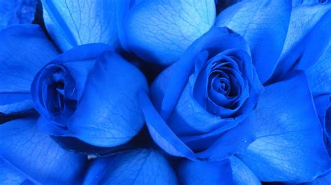 Blue Rose wallpapers HD free Download