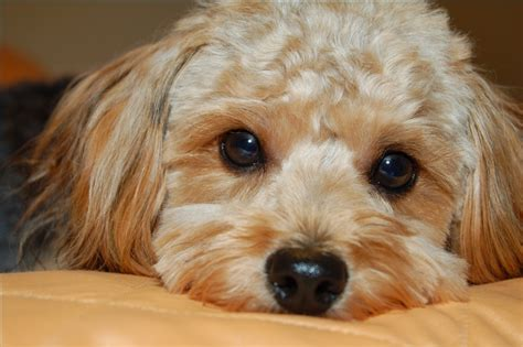 Breeds Of Small Dogs   Dog Breeds