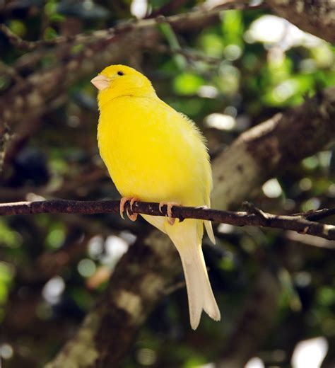 Canary Birds Were Named After the Canary Islands, Not the ...