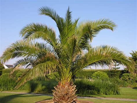 Canary Island Palm | My Climate Change Garden