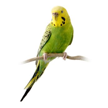 Caring for Caged Birds   Pet Healthcare Advice Centre