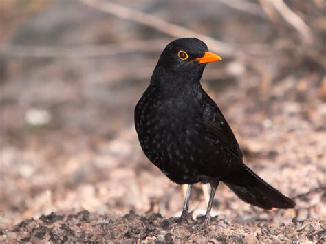 Carotenoid Trade Off in Blackbirds | Ornithology Lecture ...