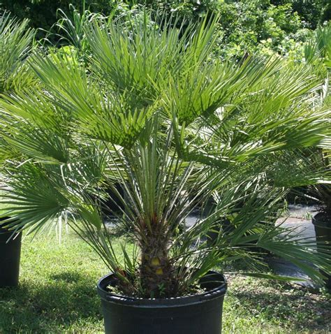 Chamaerops Humilis   Fan Palm   Trees & More Ltd