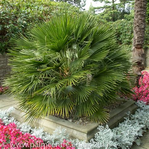 Chamaerops humilis From Palm Centre