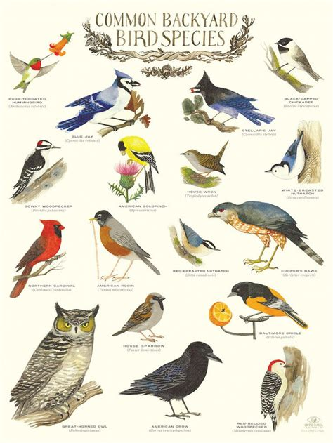 Common Backyard Bird Species  Infographic Poster by Diana ...