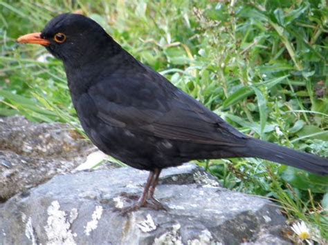 Common Blackbird chirping merrily – Bird Ecology Study Group
