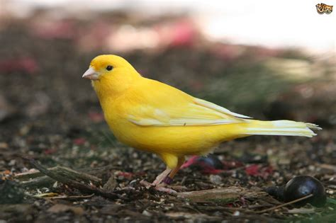 Common Illnesses in Canaries   Pets4Homes