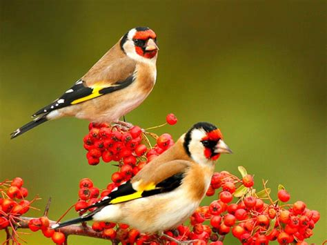 Cute Birds HD Wallpaper Free Download | 9To5Animations.Com