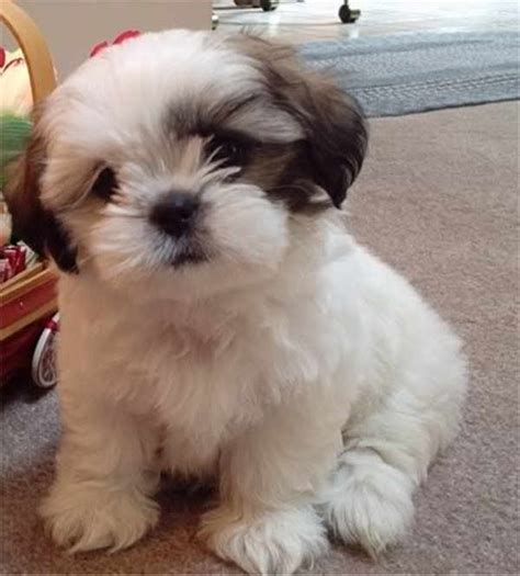 Cute Small Dog Breeds That Don T Shed With Pictures ...