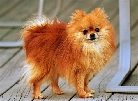 Cute Small Dogs That Stay Small   List Of Small Dog Breeds