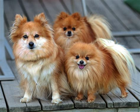 Cuts For A Pomeranian Yorkie Mix | HAIRSTYLE GALLERY