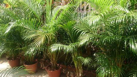 File:Areca palm 1.jpg   Wikimedia Commons