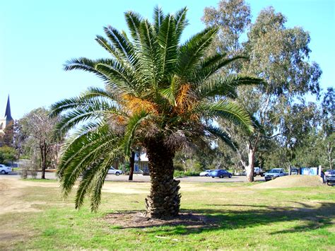 File:Phoenix canariensis located on the former gas works ...