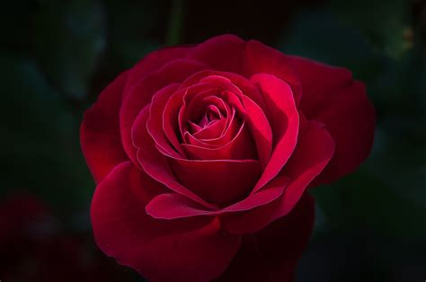 Free photo: Flower, Rose, Red, Red Rose   Free Image on ...