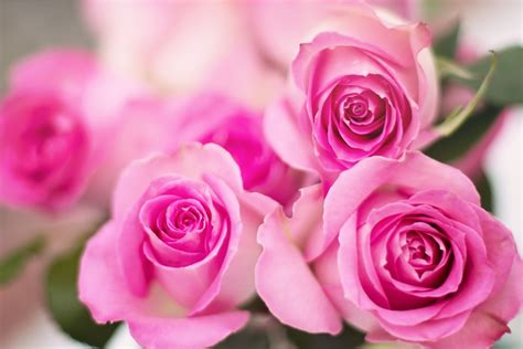 Free photo: Pink Roses, Roses, Flowers, Romance   Free ...