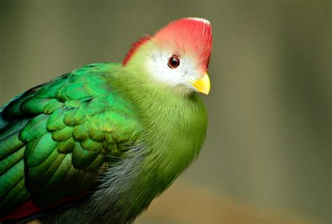 Free photo: Red Crested Turaco, Bird, Red Green   Free ...