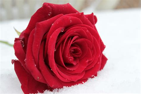 Free photo: Rose, Red, Flower, Blossom, Bloom   Free Image ...
