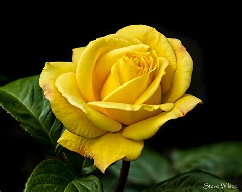 Free Rose Picture | The yellow rose of Texas .... possibly ...