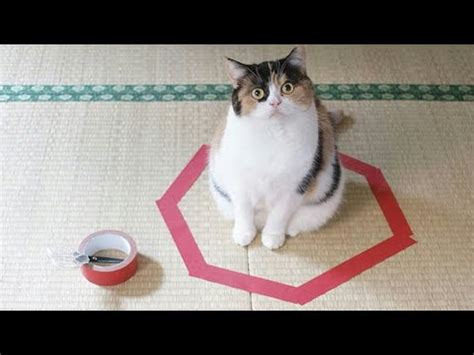 FUNNIEST CAT video Ever   Be CAREFUL , you may not stop ...