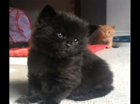 Funny and cute black cats videos || Funny cats and cute ...