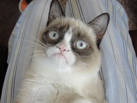 Grumpy Cat Angry Face   Funny Collection World