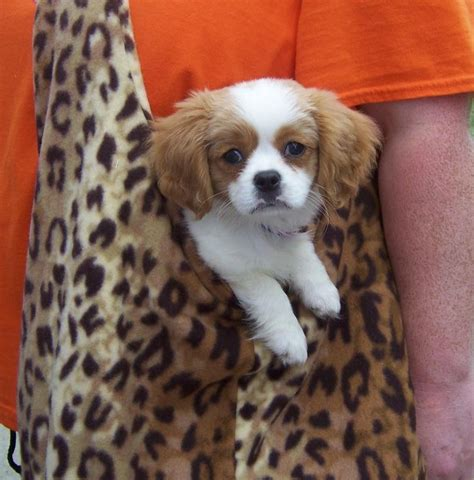HD Animals: small dogs that stay small