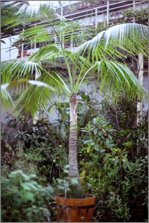 Howea forsteriana growth rate in pot?   PALMS IN POTS ...
