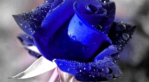 Image Gallery most beautiful blue roses