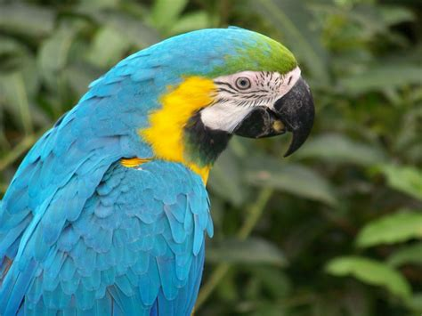 Indian parrot wallpaper |Funny Animal