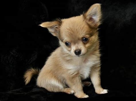 Most Beautiful Small Dogs Breeds