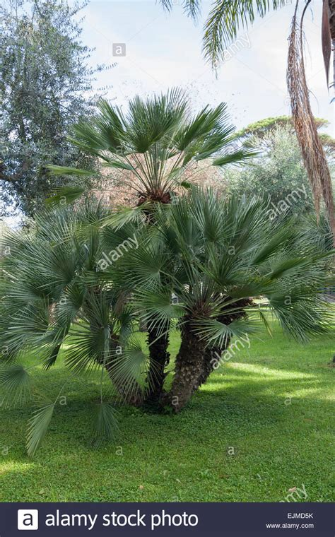 Multi stemmed specimen of the European fan palm ...
