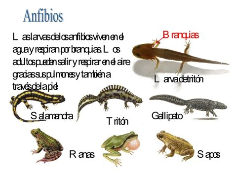 Nombres animales anfibios   Imagui