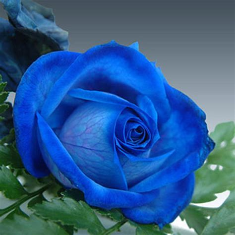 Online Buy Wholesale blue climbing roses from China blue ...